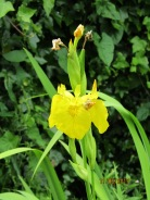 Lovely native yellow iris